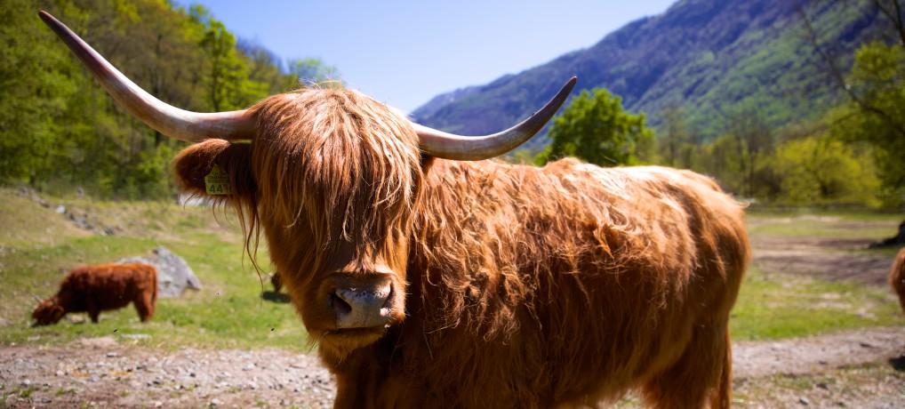 Das schottische Hochlandrind